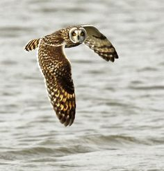 Short-eared Owl over water, amazing picture. not usually an animal picture person, but this just captures me.