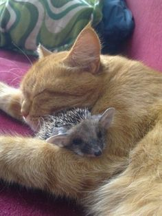 cat hugging a baby hedgehog