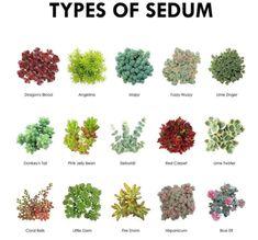 Succulent Pictorial Guide ~ Types of Sedum - Modern Repotting Succulents, Crassula Succulent, Types Of Succulents Plants, Sedum Plant, Succulent Species, Growing Succulents, Cacti And Succulents, Types Of Cactus, Succulent Arrangements
