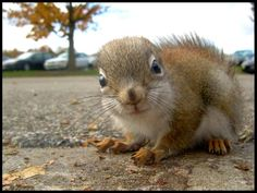 """""""Tiny Observer""""  [Baby Red Squirrel]~[Photograph by ~PirateCaptainJess (Jess) - October 29 2008 - on deviantART]'h4d'121103"""