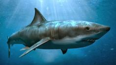 """Megalodon don meaning """"big tooth"""" from Ancient Greek big mighty is an extinct species of shark that lived approximately 28 to million. All Sharks, Types Of Sharks, Species Of Sharks, Underwater Sea, List Of Animals, Great White Shark, Animal Facts, Shark Week, Sea Creatures"""