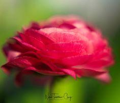 Vintage Lens Shot Ranunculus Ranunculus, Lens, Photo And Video, Rose, Flowers, Photography, Vintage, Instagram, Fotografie