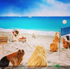 guinea pigs at the beach.
