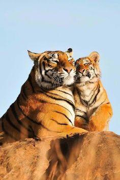 #Tiger love ~ETS