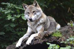 Animales Lobo  Predator (Animal) Sitting Fondo de Pantalla