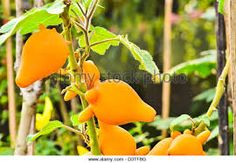 Image result for Solanum mammosum