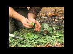 Dzikie i smaczne: Łopian