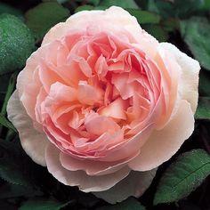 Rosen online kaufen | Sharifa Asma | rosenpark-draeger.de