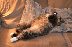 I got a big fat fluffy maine coon too he is my big baby - http://cutecatshq.com/cats/i-got-a-big-fat-fluffy-maine-coon-too-he-is-my-big-baby-2/
