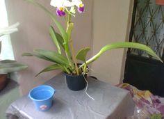 Cattleya 002. Presente da amiga Profª Márcia Nunes em 21/03/14, Niterói, RJ