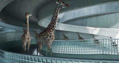 Happy Giraffes Diving Into A Pool Will Make Your Day