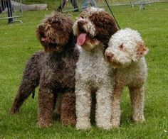 Lagotto Romagnolo truffle hunting dogs from Italy. Most cuddly dogs ever. I want 3:)