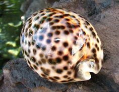 Tiger Cowrie. I want to go to Hurghada, Egypt. I need to fetch myself one of those beautiful Tiger Cowries, found at deep snorkeling levels of the Red Sea. Also known as Leho-Kiko in Hawaiian :)