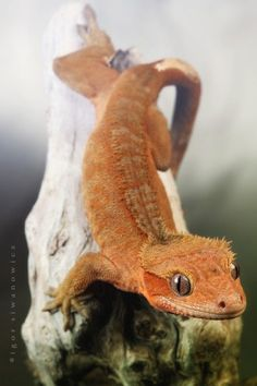 Crested gecko ✯ By Igor Siwanowicz ✯ Les Reptiles, Cute Reptiles, Reptiles And Amphibians, Mammals, Beautiful Creatures, Animals Beautiful, Reptile Room, Reptile Cage, Reptile Enclosure