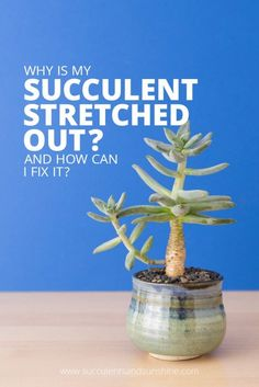 """If succulents don't get enough sunlight they begin to stretch out. Find out how to prevent stretching and how to """"fix"""" succulents that are already stretched out. I get emails from time to time ..."""