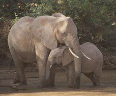 Elephant mother sheltering her baby during wind storm, Samburu Game Reserve