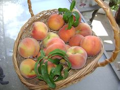 The peach tree is loaded and now the trick is to beat the birds to the harvest!