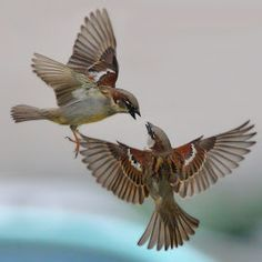 sparrows fighting in flight - Google Search