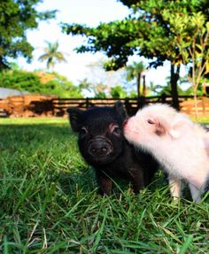 Breathtaking -> Pigs As Pets In Florida ;D