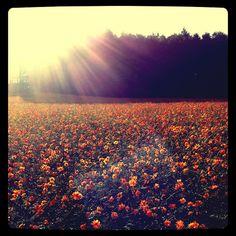 Flower fields in Furano (Hokkaido island, Japan) | Flickr - Photo Sharing!