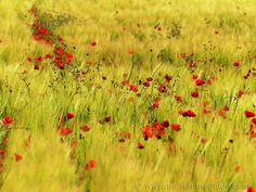 Poppies in Tuscany in bloom in May.