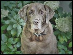 TUCKER! Labrador Retriever, Dogs, Animals, Labrador Retrievers, Animaux, Doggies, Animal, Animales, Labrador Retriever Dog