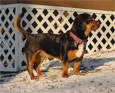 """Stubby"" belongs to our neighbors and is a wonderful friendly dog. His mother is a Basset Hound. Her owners left for work on a warm spring day and left the windows open and the screens down. When they got home from work that evening, one of the screens had been pushed out and when they open the door a large male Rottweiler was in the house with the Basset. He had broken in and had his way with her and Stubby was the result of this breeding! He was not planned, but is well loved!"