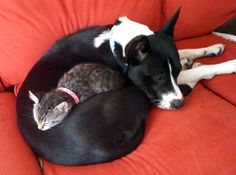 "A shelter kitty met a rescue doggie at their forever loving home. It did not take long for the two to cuddle up together for a nap. They are now best of friends.    ""We got the cat a couple years after the dog. The dog has a strong mothering instinct and really took a liking to the cat. They've been inseparable ever since. The cat even likes sleeping in the dog's crate,"" said their hooman."