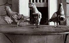 Palomas equipadas con cámaras antes de que se inventara  Internet  en lugar de  Google  Earth. 1900