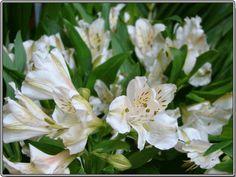 Astromelias blancas para Don Chilo