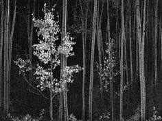 Northern New Mexico Aspens by Ansel Adams. Northern New Mexico Aspens by Ansel Adams.