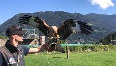 In einer rund 40-minütigen Vorführung erleben Sie unsere frei am Himmel fliegenden Greifvögel im Aufwind der berühmten Burg Landskron in Kärnten. Nach atemberaubenden Flügen kehren die Vögel zum Falkner, der unmittelbar vor Ihnen steht, zurück. Verhalten und Lebensgewohnheiten dieser zum Teil bedrohten Tiere werden ausführlich erläutert. Themen: Adler, Greifvögel, Milan, birds of prey, Flugschau, Burg Landskron, Ausflugsziele, Kärnten TOP-10 #top10kärnten #carinthia #carinzia #austria… Birds Of Prey, Bald Eagle, Austria, Origami, Wild Animals, Biking, Red Kite, Buzzard, Villach