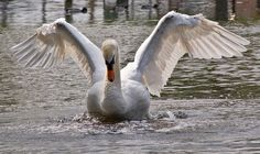 Swan Wings, Bird Wings, Bizarre Facts, Beautiful Swan, Unusual Things, Animal Totems, Weird And Wonderful, Animals For Kids, Pet Birds