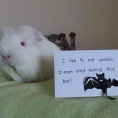 Guinea Pig Shaming (for Joshie & Savannah)