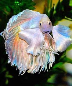Subtle shimmering rainbows on this gorgeous fighter ❤️ : RainbowEverything