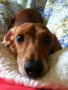 five amazing ways that will give you better ideas how to show your dog love. 5 Ways How To Show Your Dog Love That They Can Understand Dachshund Funny, Dachshund Puppies, Weenie Dogs, Dachshund Love, Cute Puppies, Cute Dogs, Daschund, Doggies, Dapple Dachshund