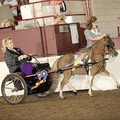 New York Miniture horse and Shetland Pony show