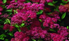 """JAPANSPIREA """"ANTHONY WATERER"""" - (Rosespirea) H4 En kuppelformet, liten busk som blir cirka 75 cm høy. Skarpt rosa blomster i skjermer fra juli til september. Trives i vanlig hagejord, i sol eller halvskygge. Fin i grupper eller som lav hekk. Kan klippes ned til 10-15 cm høyde de første par årene etter planting for å få en kraftigere og tettere busk. Japanspirea 'Norrbotten' egner seg godt både til fri hekk, i skråning og i bed. Den ser ut til å dekke godt ved en planteavstand på 0.7-0.8 m."""