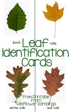 Identification Cards {free printable Free Leaf Identification Cards from Wildflower RamblingsFree Leaf Identification Cards from Wildflower Ramblings Nature Activities, Autumn Activities, Science Activities, Science Area, Cutting Activities, Science Kits, Toddler Activities, Nature Study, All Nature
