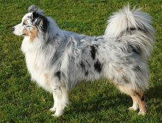 Must keep the tail...Beautiful Australian Shepherd