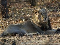 Gir Birding Lodge, Gir National Park, India - The Magnificent Asiatic Lion