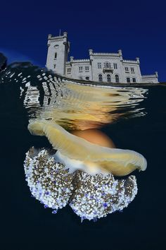 """Cothyloriza and Miramare castle""Gulf of Trieste, Adriatic Sea, Italy Underwater Photos, Underwater Photography, Wildlife Photography, Art Photography, Trieste, National Geographic Photo Contest, Little Girl Photography, Watercolor Whale, Wonderful Images"