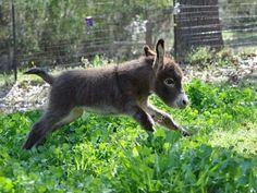 Baby Miniture Donkey!! ♡