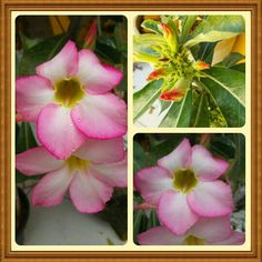 Depois de intensa chuva, as Rosas do Deserto estão florindo ♥