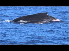 Es sind Begegnungen, die das Leben verändern können .... die Begegnungen mit den Delfinen und Walen hier in Hawaii. Eine Tiefe, eine Freude, die Liebe und Schönheit .... öffnen Kanäle und Ebenen in uns, die lange darauf gewartet haben, wieder zu atmen ... zu leben ...  Hawaii-Seminare mit Delfinen, Buckelwalen: Delfin-Magie, Meeresschildkröten, Mantarochen, Schamanische Reise, Huna + Aloha, auf den Spuren von Lemurien, Vulkan- und Urwaldwandern…