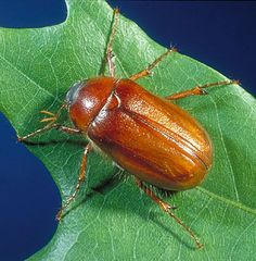 Then they move to the third stage where the majority of their life cycle is spent (nearly a year).The adult beetles emerge in May or June depending on the type. They feed more aggressively in the third stage and it last for so long, damaging the turf grass immensely.