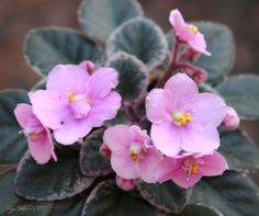 Cajun's Lil' Joy - what a lovely little mini with pink variegated leaves to match the charming blooms!  This is a photo of my own plant on it's first flowering.