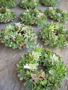 Holiday Succulent Centerpieces 10 inch diameter by SucculentSalon. , via Etsy. Succulent Wedding Centerpieces, Terrarium Wedding, Succulent Arrangements, Colorful Succulents, Hanging Succulents, Small Succulents, Growing Succulents, Succulent Wreath, Succulent Gifts