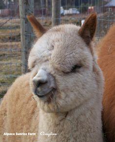 Alpaca Sunrise Farm is a full-service Alpaca farm since 1998 • Alpaca sales • breeding • boarding • Alpaca raw fiber, yarn, roving sales for knitters, crocheters, weavers and fiber artists. www.AlpacaSunrise.com #alpaca #alpacas