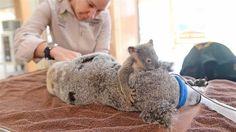 Baby koala clings to mom while she undergoes surgery - TODAY.com